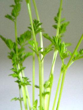水栽培で育てるニンジンの葉っぱ