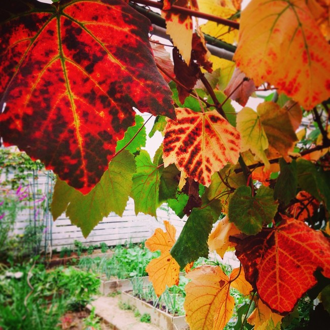Autumn landscape in the garden.  Tsurushi persimmon and grape leaves ** --Artichaut's seasonal dining table ...