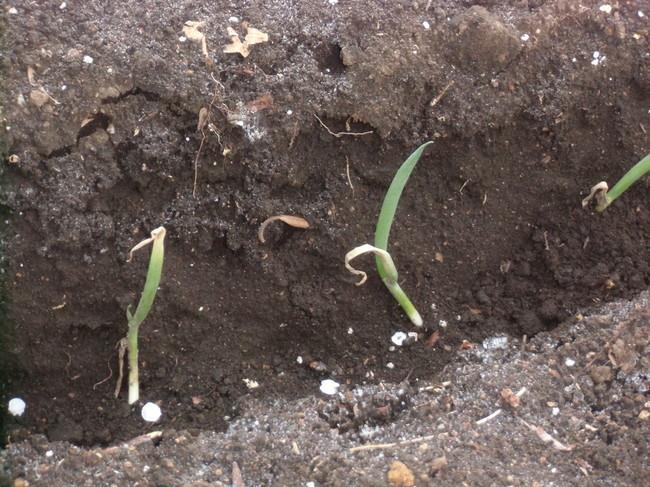 ジャガイモとネギ苗を植える