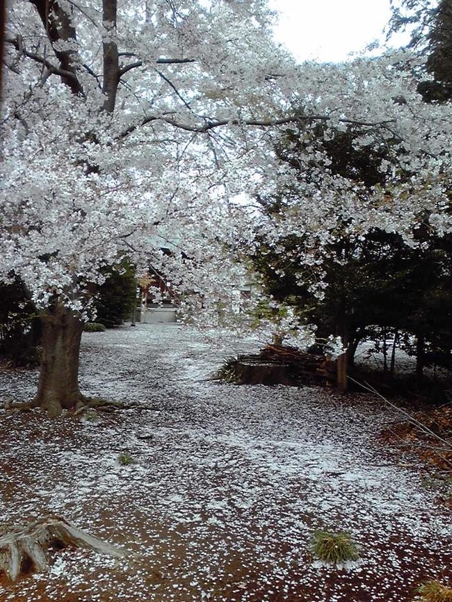 桜 ひらひら 舞い降り て 落ち て 歌詞