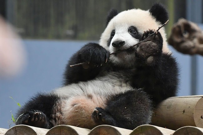 毎日 パンダ