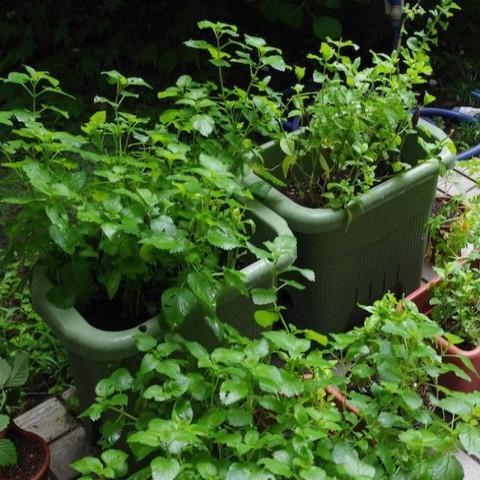 バーブを育っているお庭