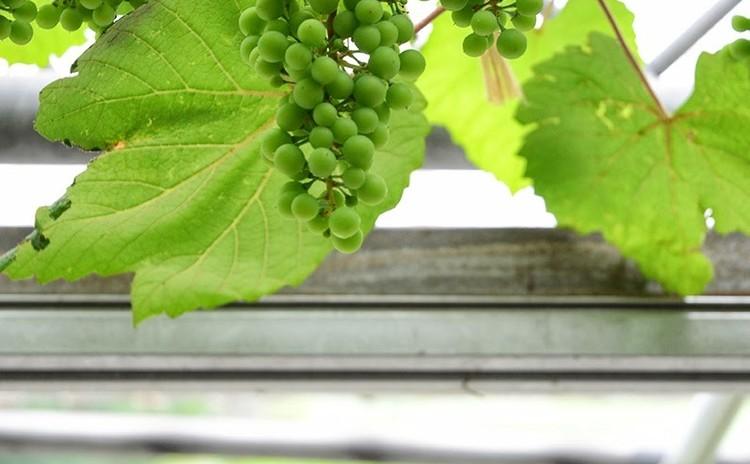 【ワインレッスン】 ブドウ品種を知る =白ワインを楽しみましょう編=