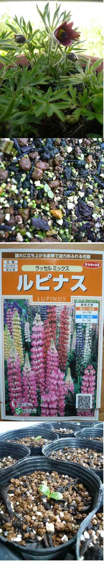 ルピナス 種まき