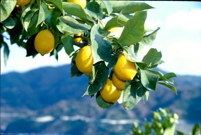 レモン農家の塩レモン活用術も拝見!日本一のレモン生産県・広島へ!!