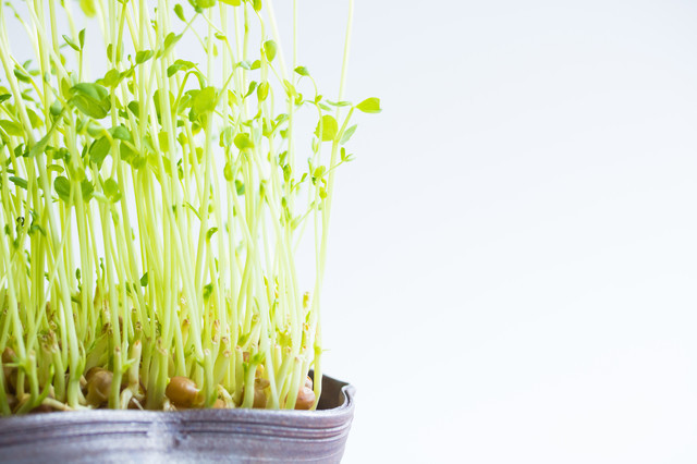 【お得ワザ】買ってきた「豆苗」の再生栽培にはコツがあった!