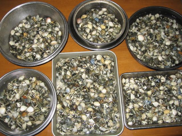 あさりや蛤の砂出し&汐出し方法