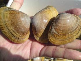 潮干狩りのバカ貝の剥き身★砂抜き付