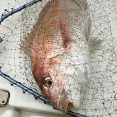 真鯛の捌き方