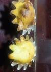 ゴーヤとチーズのカップケーキ