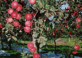 リンゴの季節になってきました!