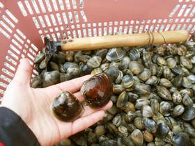 大漁でも安心! アサリ砂抜き&簡単保存法