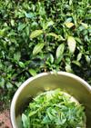 宇治茶「茶摘みから煎茶をつくる」