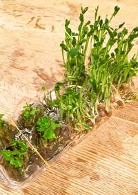 和美食 卵パックで水耕栽培 豆苗•三つ葉