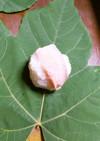 アブラギリの葉っぱ寿司