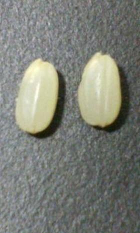 ヨーグルトメーカーで自家製発芽玄米