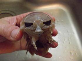 愛知の魚!?オオグソクムシの下処理