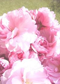 美しさよ永遠に!桜の塩漬け(梅酢漬け)
