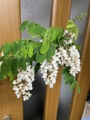 アカシアの花の天ぷらの写真