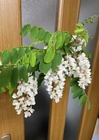 アカシアの花の天ぷら