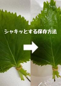 大葉の保存方法
