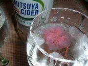 ♪ 桜咲ダー ♪の写真