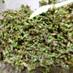 基本の穂紫蘇の塩漬け