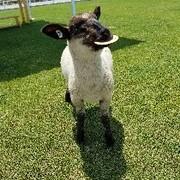 sheep125