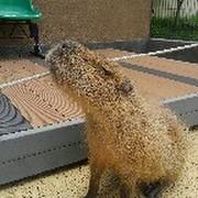capybaraくん