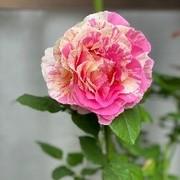 モネのバラ