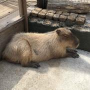 ☆capybara☆