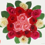 Rose2264
