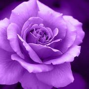 紫の薔薇と真珠。