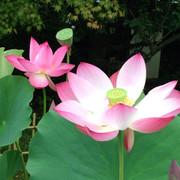 Lotusー蓮華ー
