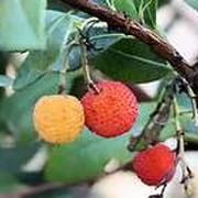 イチゴの樹
